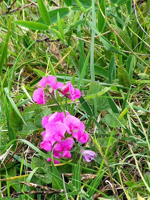 Broad-leaved Everlasting Pea Lathyrus latifolius, Indre et Loire, France. Photo by Loire Valley Time Travel.