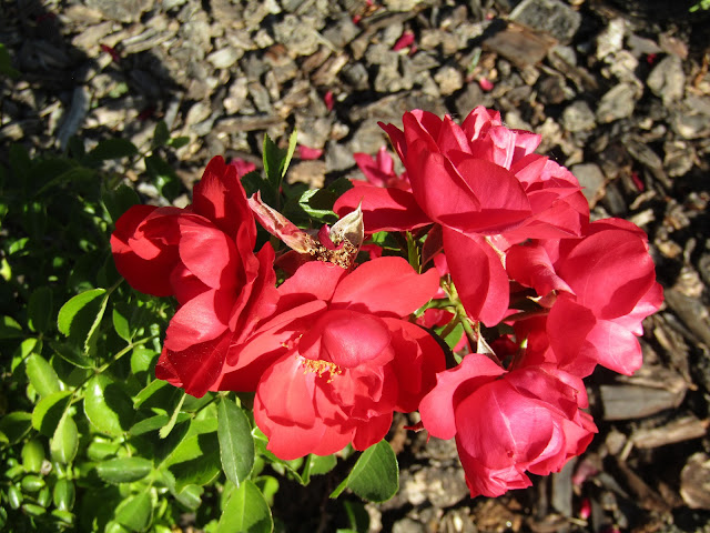A Single Group of Red Roses from the Same Bush