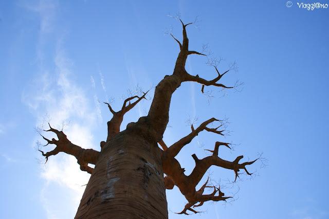 Riproduzione di Baobab nell'area Madagascar