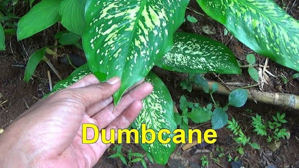 Top 10 plants that can kill you