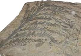 Archaeopteris fossil