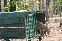 मरणासन्न हालत में लाया गया तेंदुआ स्वस्थ्य होकर वापस जंगल पहुँचा