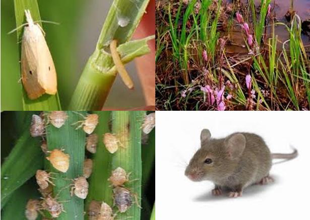 Image result for hama penyakit tanaman