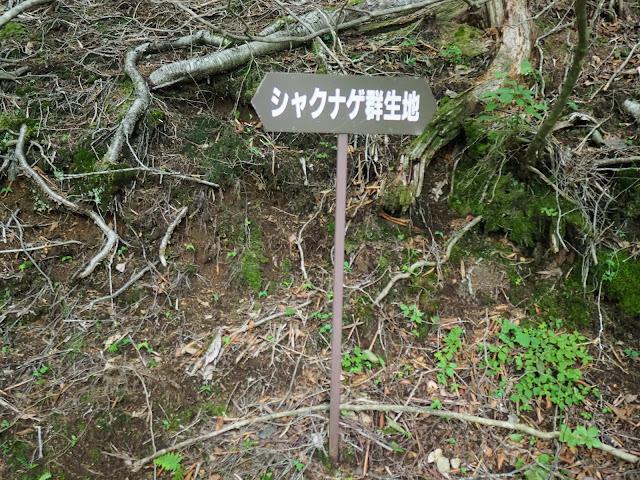 西沢渓谷 シャクナゲ群生地