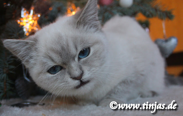 Britisch Kurzhaar Katzenbaby blue golden tabby point 1