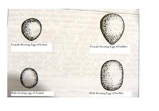 Trứng chim yến đực và chim yến cái trong tổ yến sào.