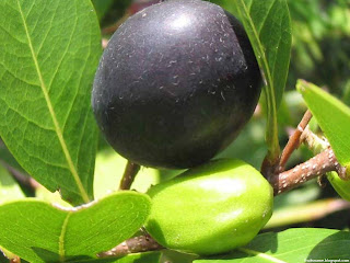 Coco plum fruit images wallpaper