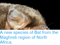 http://sciencythoughts.blogspot.co.uk/2014/06/a-new-species-of-bat-from-maghreb.html