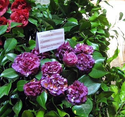camélias de cor lilás