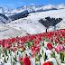 """ຊົມຄວາມງາມຂອງດອກ """"ທິວລິບ(Tulips)"""" ພວມເບັ່ງບານໃນຊິນຈຽງຂອງຈີນ"""