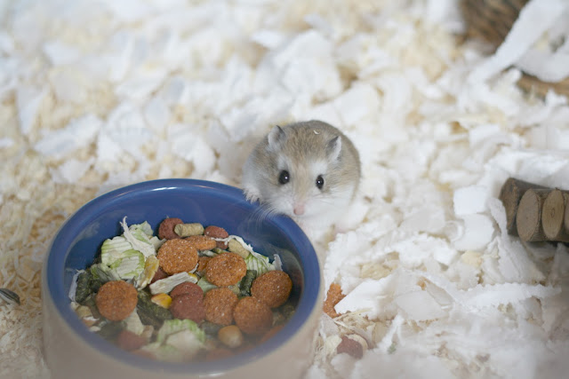 robo-hamster-blog-post-blogger