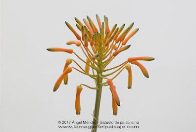 Aloe saponaria, plantas crasas, plantas de sombra, aloe, aloe vera