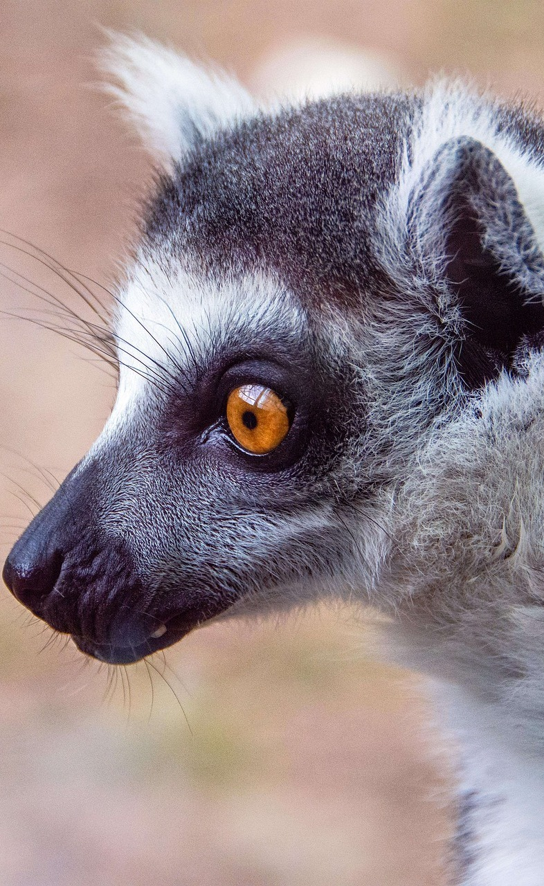 Lemur up close.