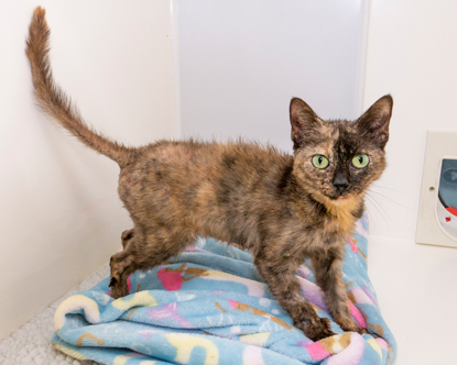 tortoiseshell cat with fur loss in a cat pen