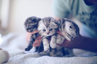 scottish fold kittens in kuwait