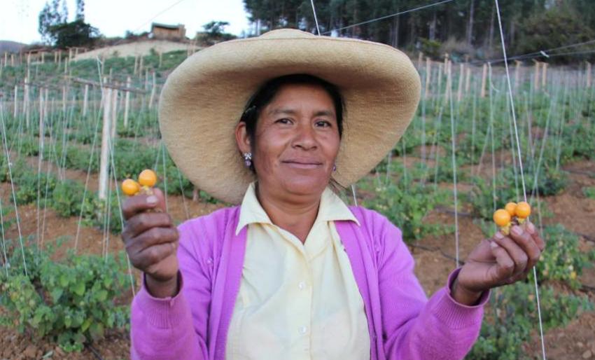 Cultivo de Aguaymanto en Condebamba - Experiencia para exportar