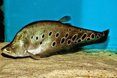 Jenis Ikan Predator Belida Beserta Harganya