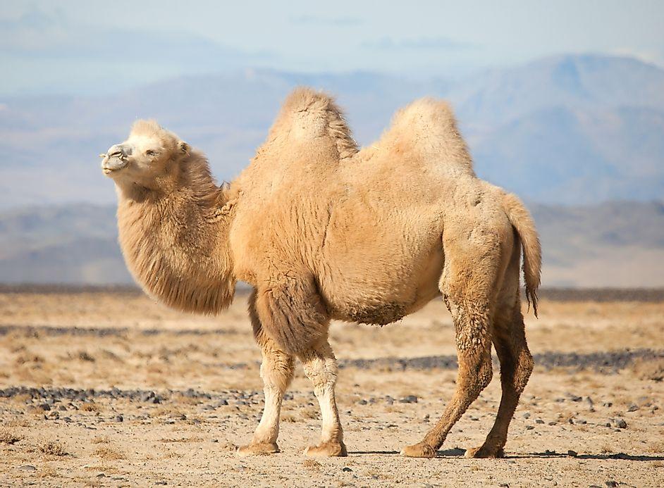 Верблюд пустыни Гоби в Монголии