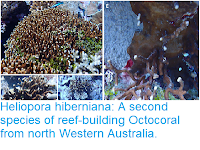 https://sciencythoughts.blogspot.com/2019/01/heliopora-hiberniana-second-species-of.html