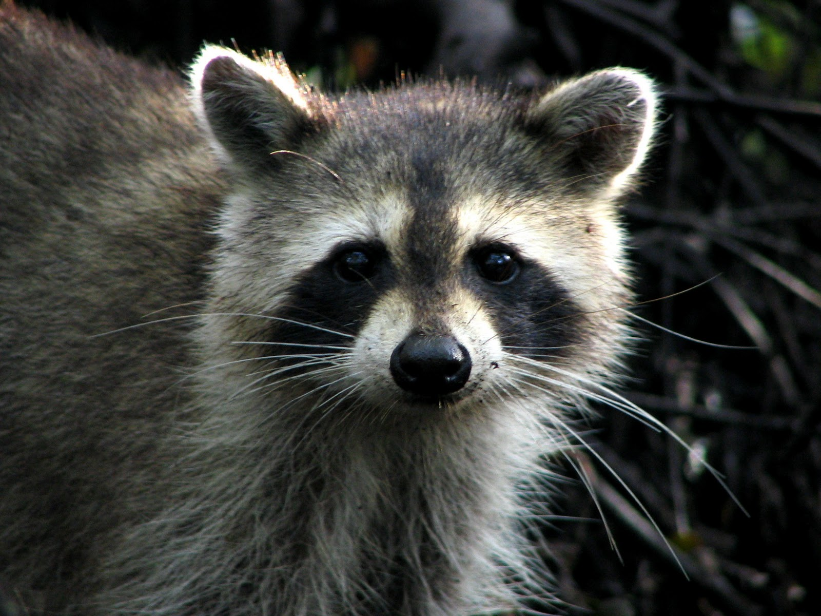 Raccoon | The Life of Animals Raccoon Face