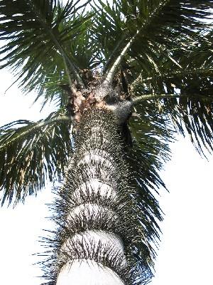 Tucumã (Astrocaryum vulgare)