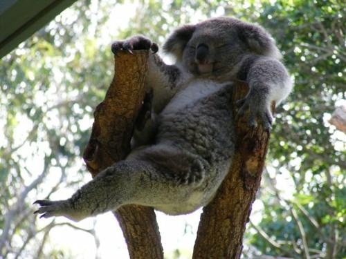 Funny Koala  Funny Ani...