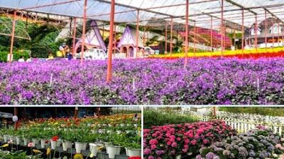 Lavender garden cameron highland