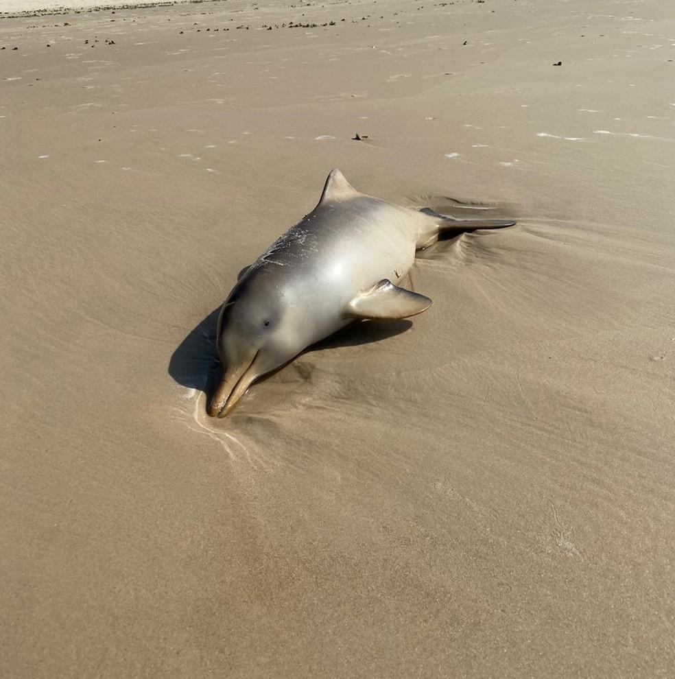 Filhotes de toninha são encontrados mortos na Praia da Joaquina, em Florianópolis-SC