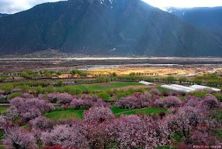 西藏林芝桃花節