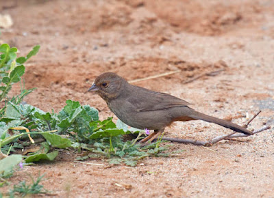 Photo of California Towhee