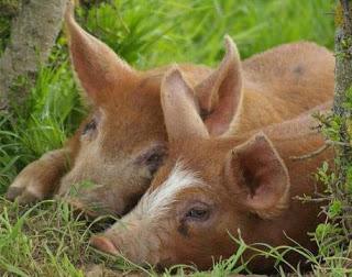 Foto de chanchos descansando en el pasto