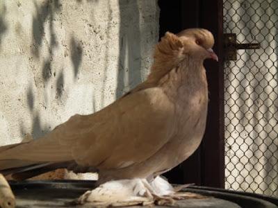 yellow beautiful pigeons - hungarian giant house pigeon standard