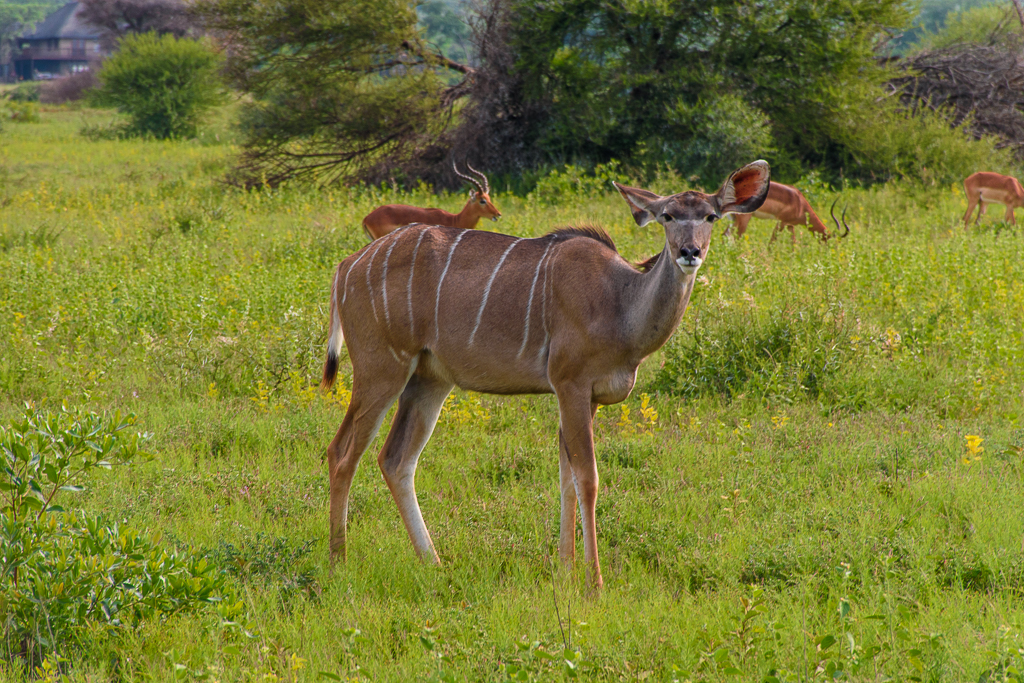 kudu and animals in the south africa safari