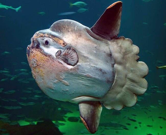 Hewan-Hewan Laut yang Unik Di Dunia Hewan-Hewan Laut yang Unik Di Dunia 54