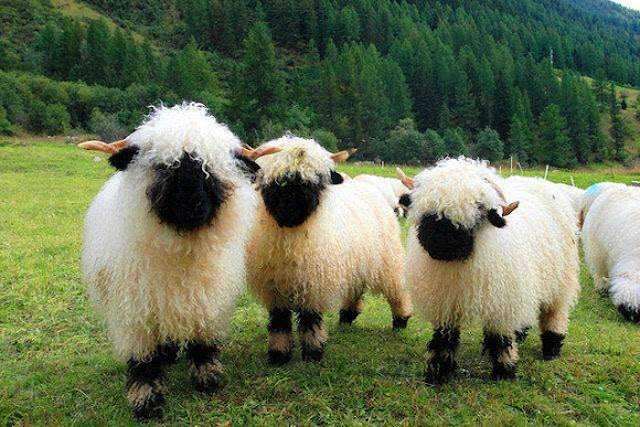 valais blacknose sheep, valais blacknose, blacknose sheep, valais sheep, swiss valais blacknose, valais blackface sheep, valais black faced sheep, valais black nose sheep, swiss sheep, black nose valais sheep, swiss valais sheep, blacknose sheep of valais, valais black-faced sheep, swiss valais blacknose sheep