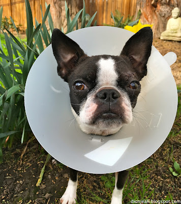 Sinead the Boston terrier wearing a cone standing by flowers