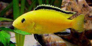 ukuran ikan lemon dewasa,ikan lemon terbesar,contoh makanan ikan lemon,makanan ikan lemon fish,cara budidaya ikan lemon fish