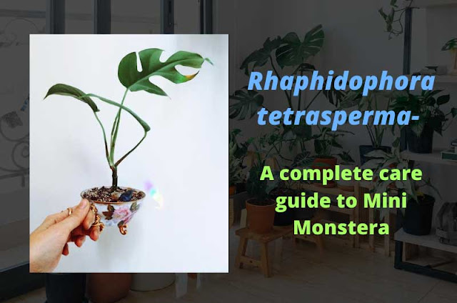 Rhaphidophora-tetrasperma--A-complete-care-guide-to-Mini-Monstera