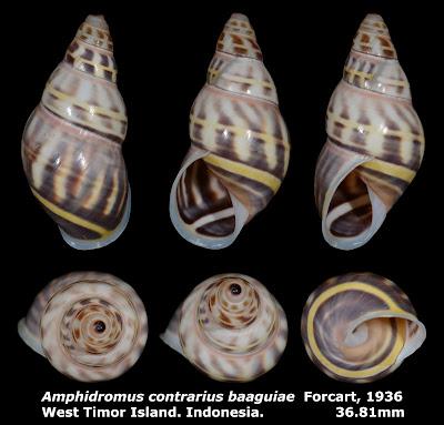Amphidromus contrarius baaguiae 36.81mm