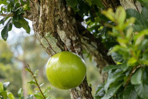 Buah berenuk, manfaat buah berenuk untuk kesehatan