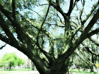 Árvore de Umbu na Praça Leda Schneider, Porto Alegre