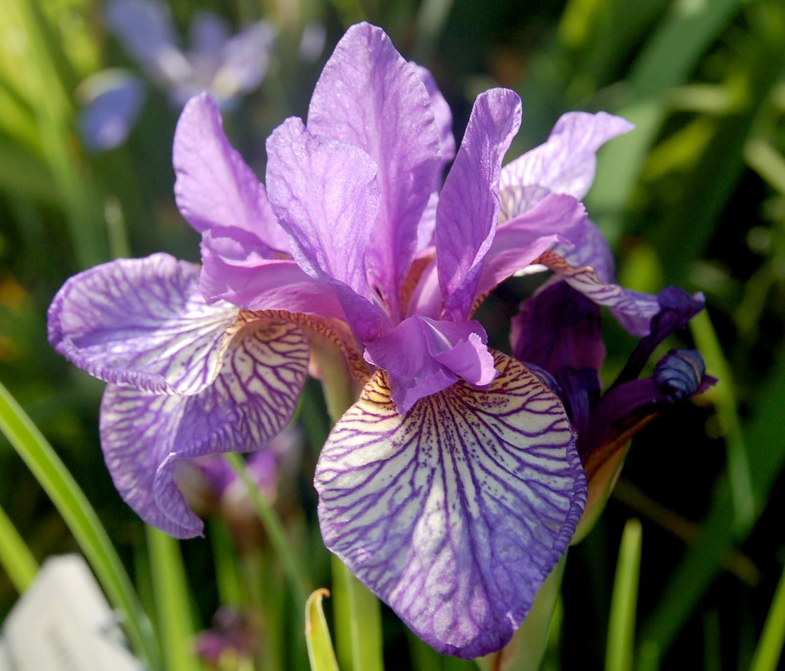 World of irises growing siberian irises izmirmasajfo