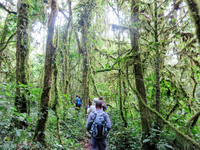 Trekking into Bwindi Impenetrable Forest in Uganda to see the Nkuringo Family of Mountain Gorillas