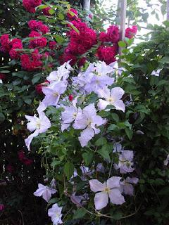 клематисы +и розы +в саду