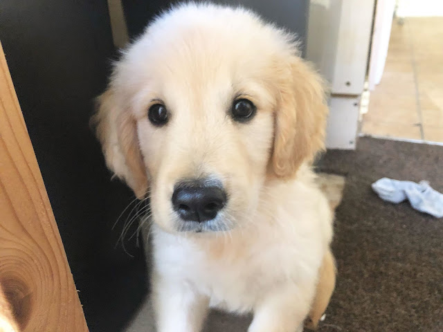 barney golden retriever puppy