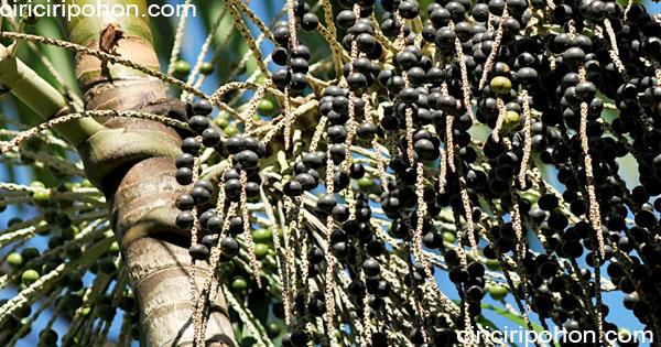 ciri ciri pohon palem acai