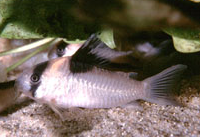 Jenis Ikan Corydoras burgessi