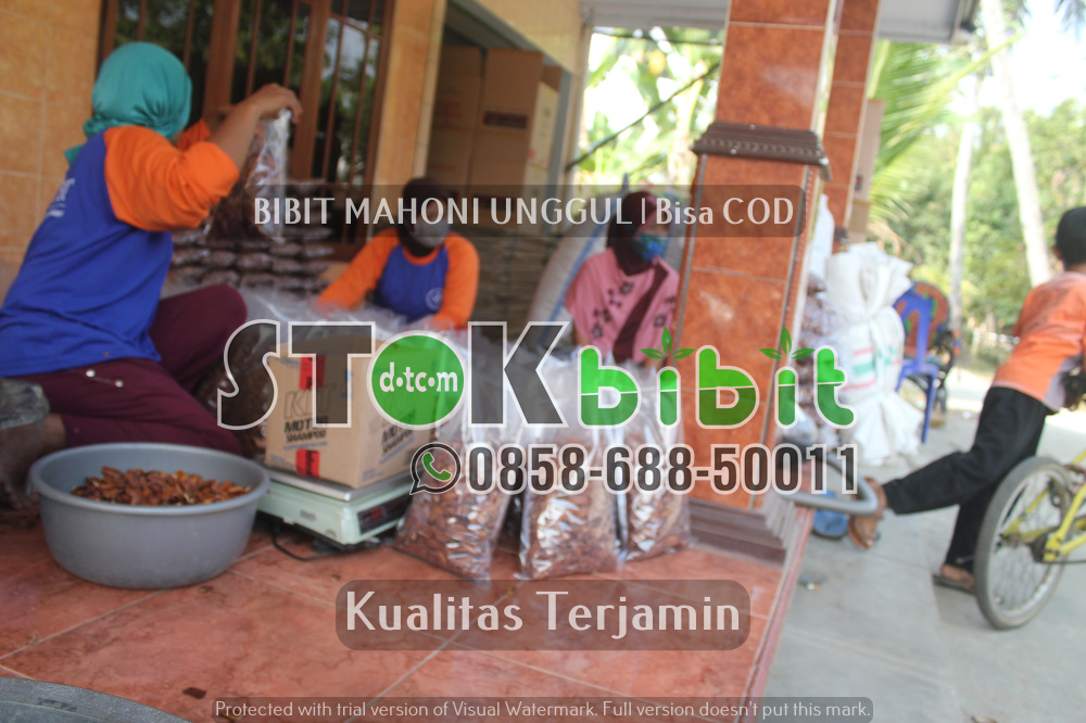 Pembudidayaan Tanaman Lada dengan Cara Stek Pendek Satu Ruas      Unggul     berkualitas