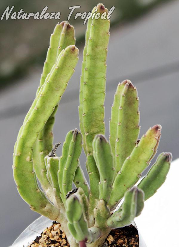 Vista de los tallos de la planta Stapelia leendertziae