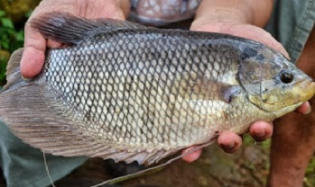 Cara budidaya ikan gurami, cara budidaya ikan gurami di kolam, cara mudah budidaya ikan gurami, cara budidaya ikan gurami dikolam beton, ikan gurami, budidaya ikan gurami,